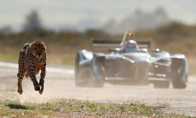Wild drag race: Formula E car vs cheetah